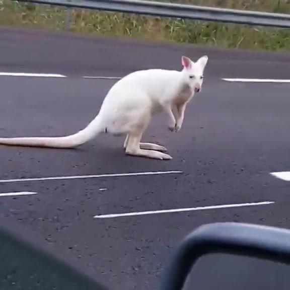 Rare albino wallaby